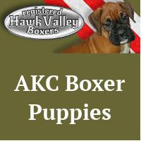 AKC Boxer Puppies