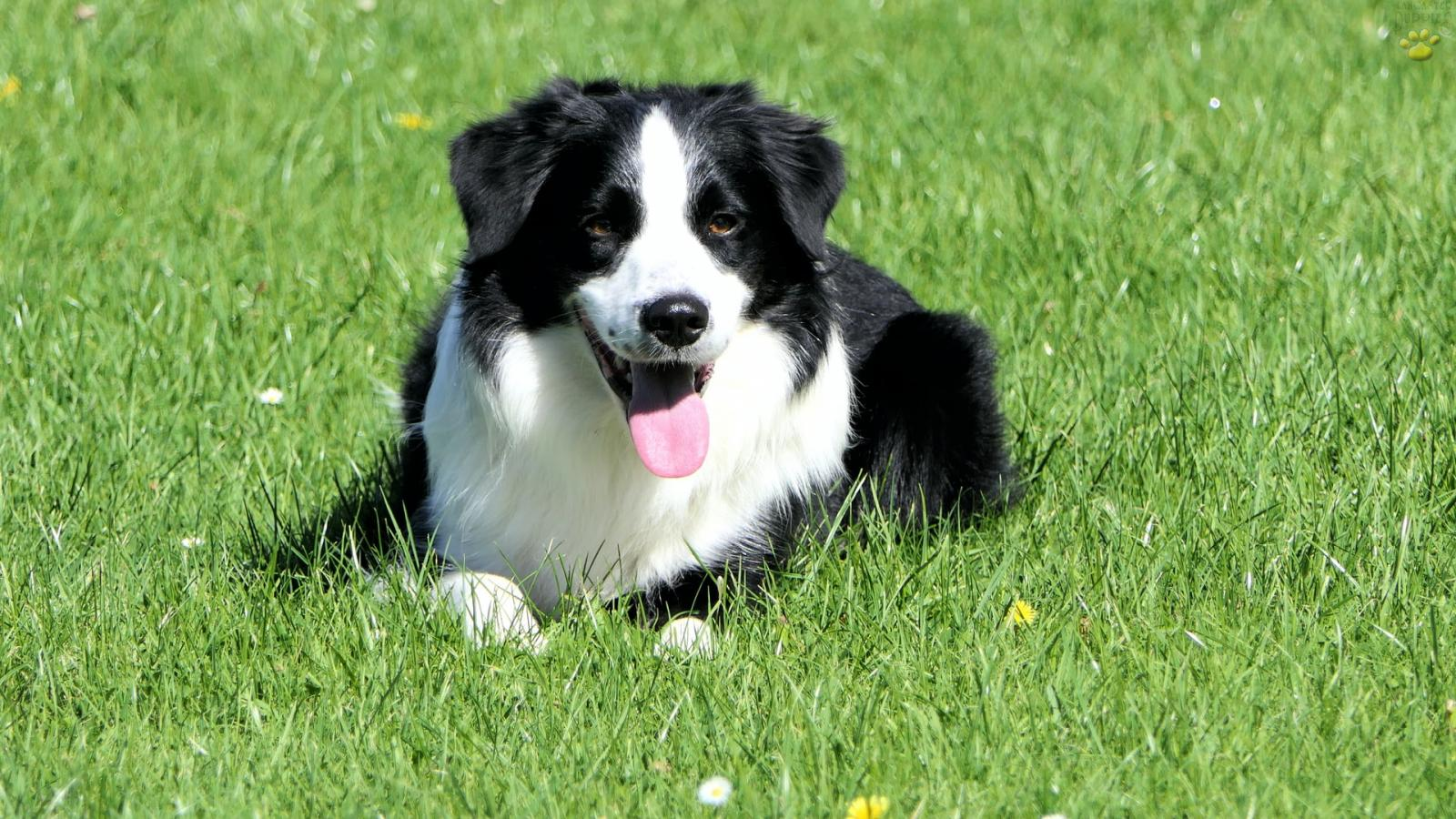 A black and white Border Collie in the grass