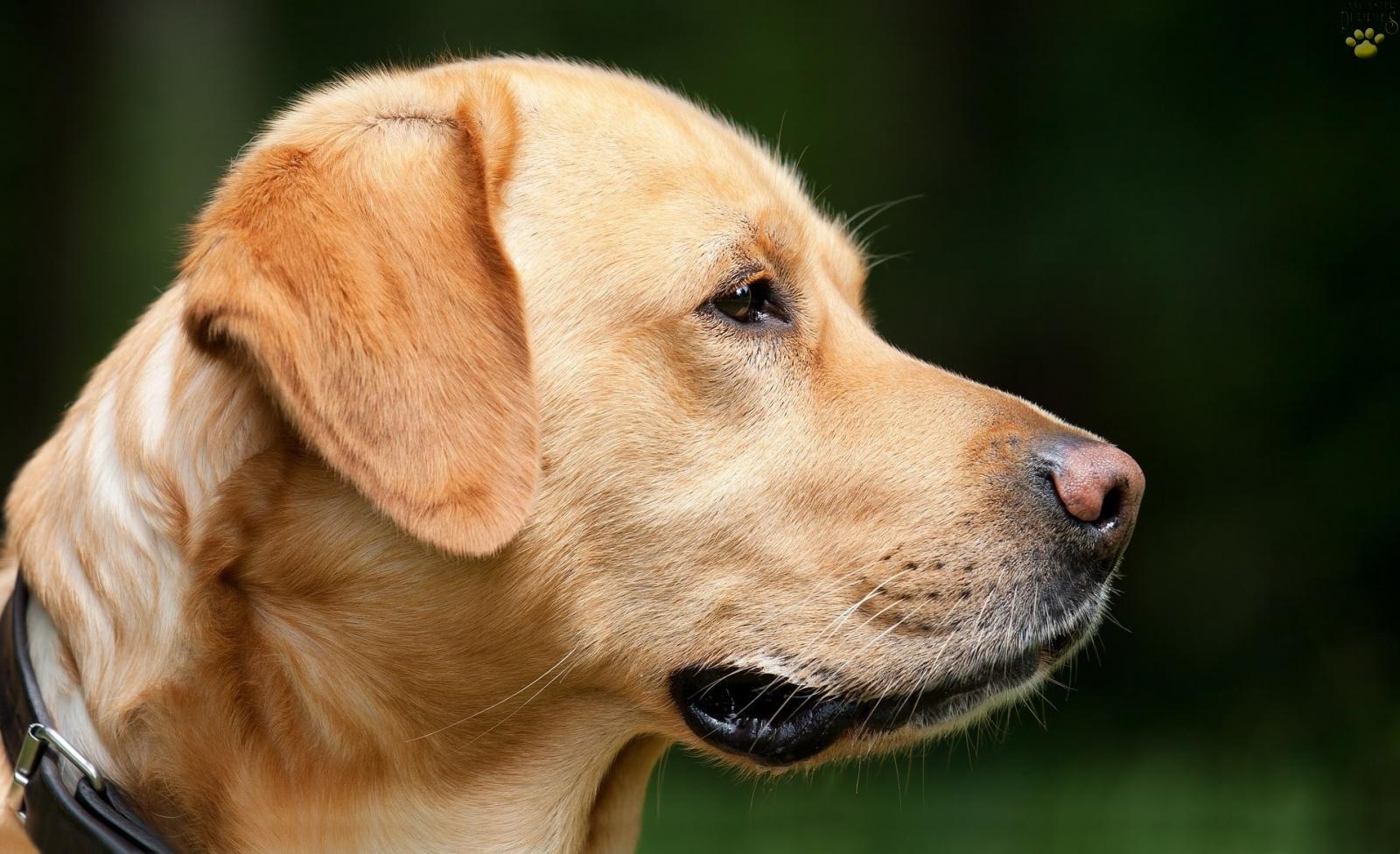 Profile of an adult yellow labrador retriever