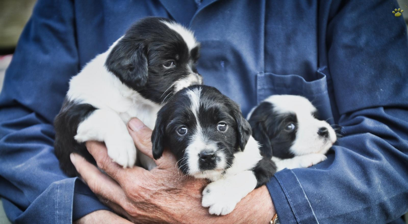 Man in blue shirt holding three black and white puppies