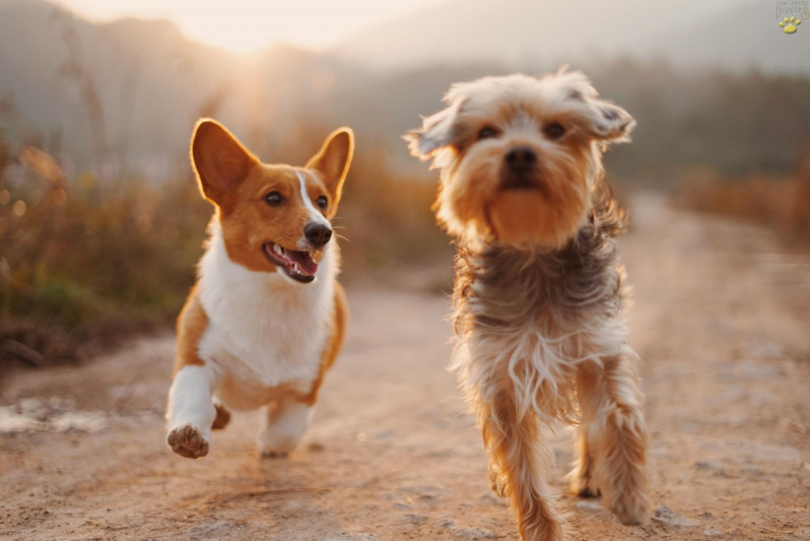 corgi and terrier playing