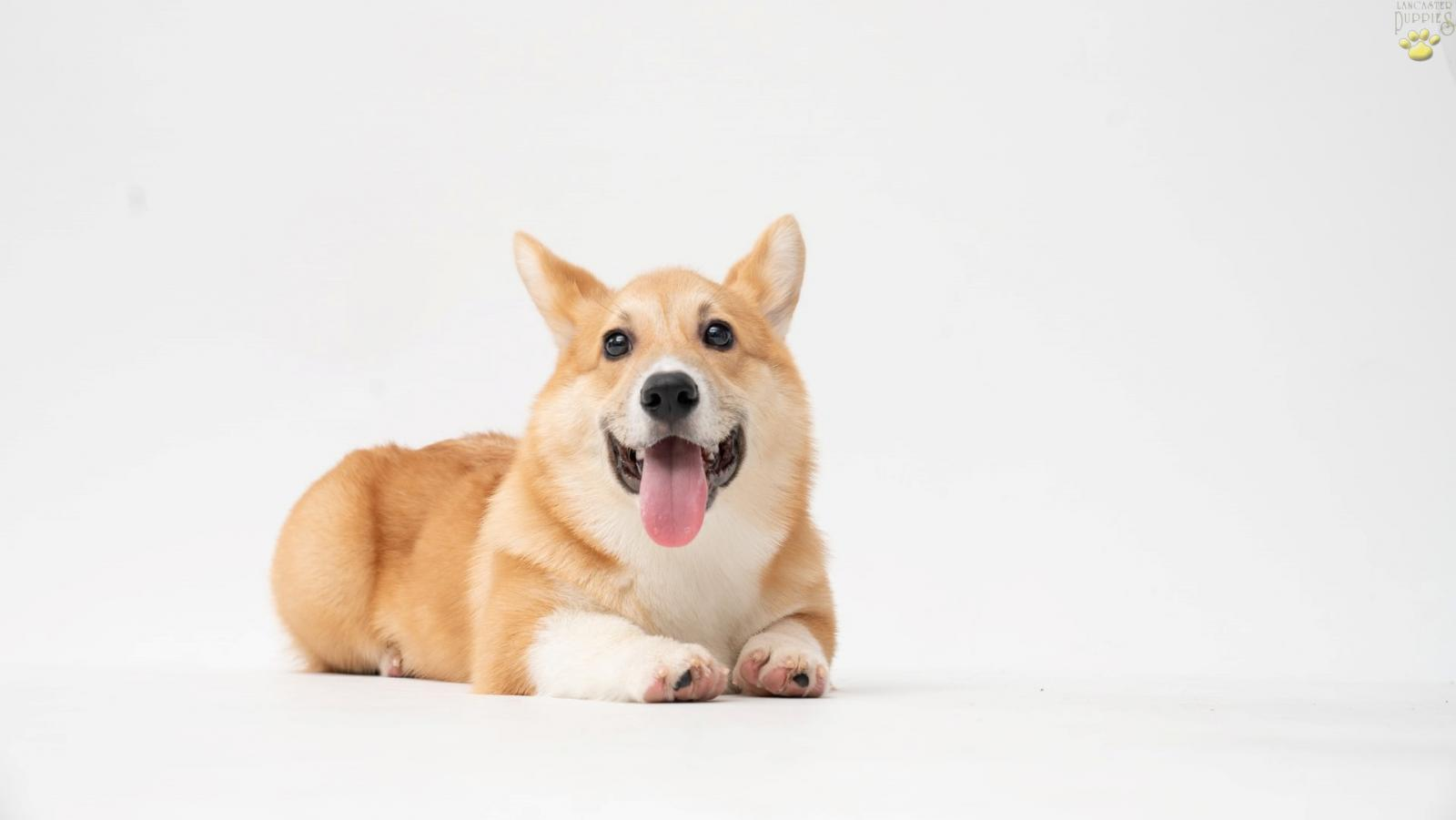 A Pembroke Welsh Corgi with its tongue sticking out