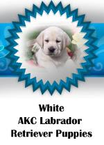 White AKC Labrador Retriever puppies