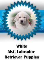 White AKC Labrador Retriever puppies