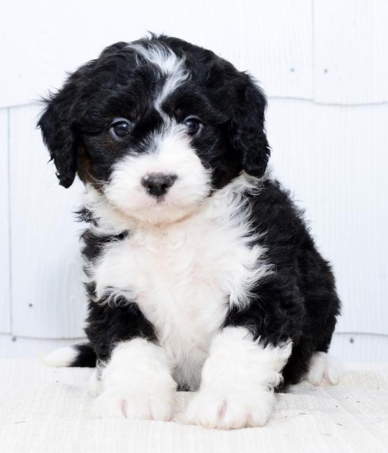 Henry Hershberger | Buckeye Puppies