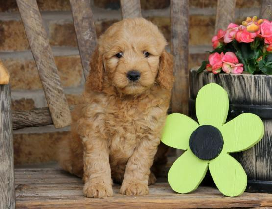 Joseph Glick | Lancaster Puppies