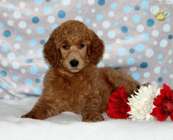 John's Standard Poodles | Lancaster Puppies