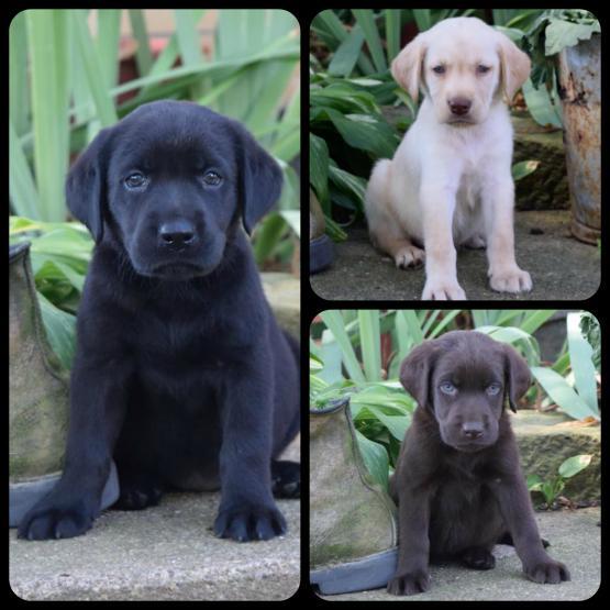 Silver Creek Puppies Lancaster Puppies