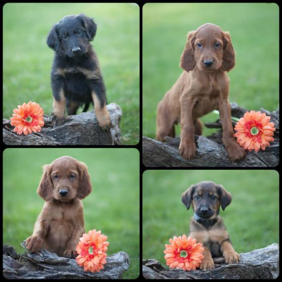 Peaceful Acres Puppies | Lancaster Puppies