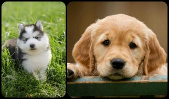 Peachy Family Puppies | Lancaster Puppies