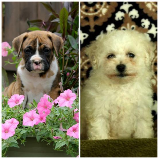 Lapps Puppies | Lancaster Puppies
