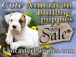 American Bulldog Puppies for Sale