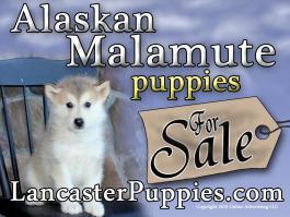 "Alaskan Malamute Yard Sign 24"" x18"" full color Free Shipping"