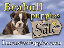 Beabull puppies for sale yard sign no stakes
