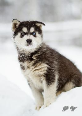 Siberian Husky Mix Puppies for Sale | Lancaster Puppies