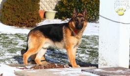 german shepherd dog for sale in pa