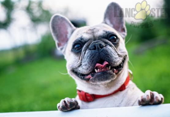 adorable cream colored french bulldog