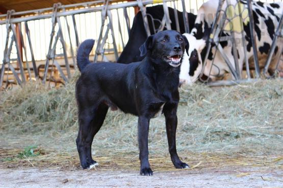 black dog on farm