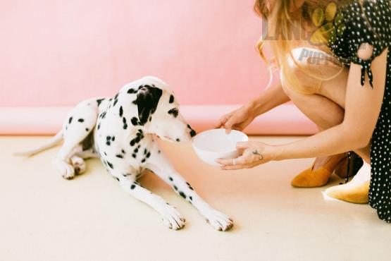 Woman feeding dalmatian puppy