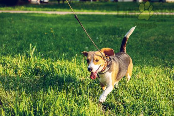 beagle puppy walking on leash