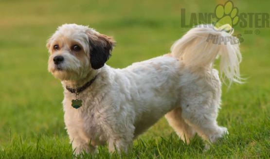 Adult Cavachon dog in the grass