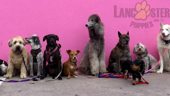 A variety of different dog breeds sitting in front of a pink wall