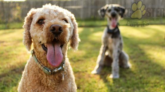 Two dogs with their tongues out sitting in a grass backyard