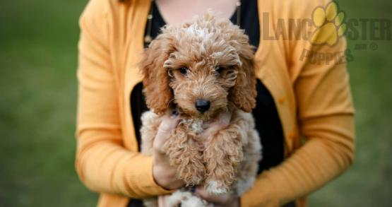 Woman in yellow shirt holding a Goldendoodle puppy
