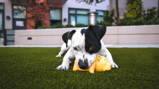 black and white dog chewing toy in grass