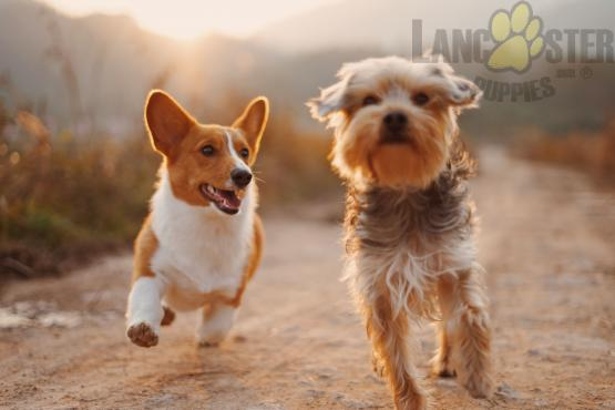 corgi and terrier playing