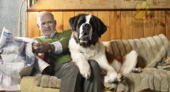 Man with Saint Bernard dog sharing couch