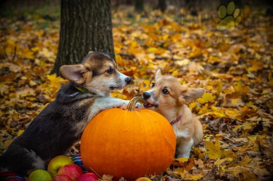 two corgi puppies with pumpkin