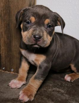 Puppies for Sale - All Breeds | Lancaster Puppies