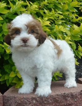 Shih-poo puppy