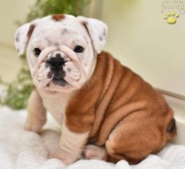 English Bulldog Puppies for Sale | Lancaster Puppies