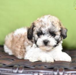Teddy Bear Dog puppy