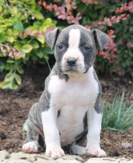 Puppies For Sale All Breeds Lancaster Puppies