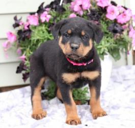 Rottweiler Puppies for Sale | Lancaster Puppies