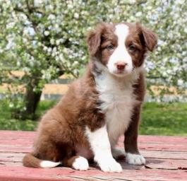 Border Collie or Scottish Sheepdog puppy