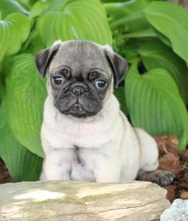 Pug Puppies for Sale | Lancaster Puppies