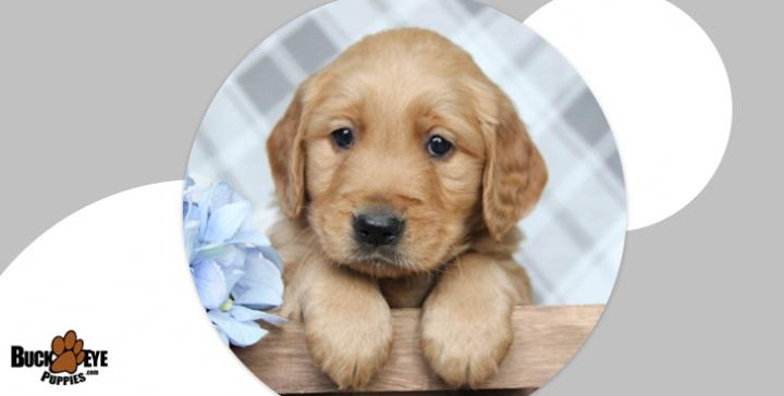 Puppies For Sale Lancaster Puppies