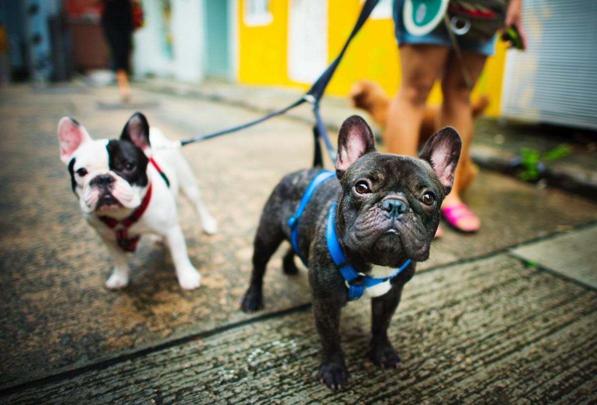 two french bulldogs walking on leash