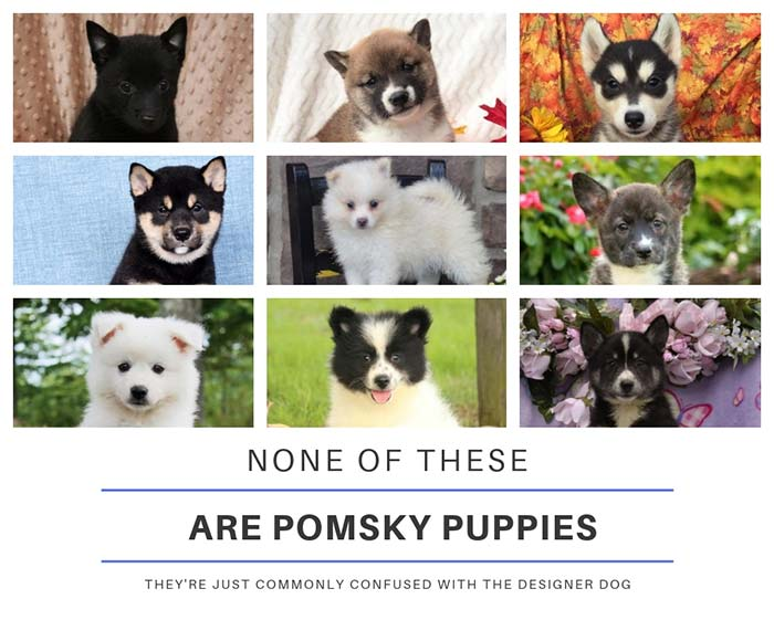 Dogs confused with pomsky puppies