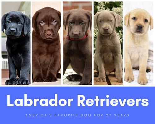 labrador retriever puppies in all colors