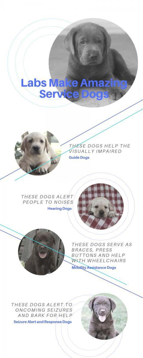 Labradors as service dogs