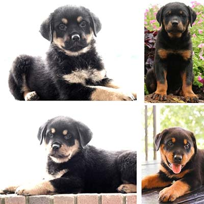 15 Pictures Of Loyal And Affectionate Rottweiler Puppies Lancaster