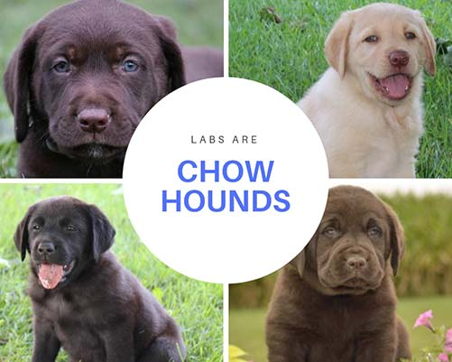 chubby labrador puppies