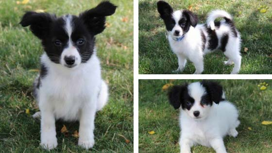 papillon and phalene puppies
