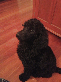 Standard Poodle puppies for sale in PA   Lancaster Puppies