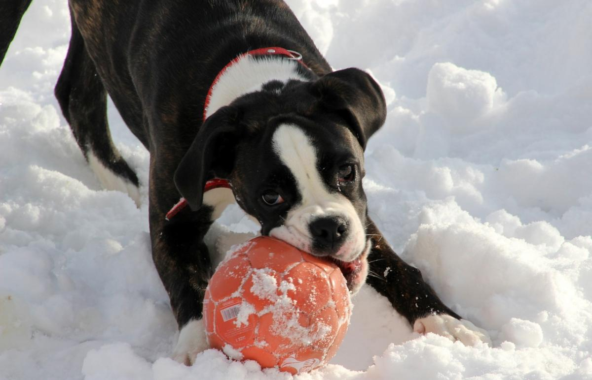 Black and white boxer puppy playing